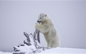 Polar bear, bear cub playing, winter, snow, Alaska HD wallpaper
