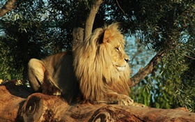 Predator, lion rest, tree, leaves HD wallpaper