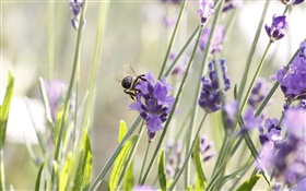 Purple flowers, lavender, insect, bee HD wallpaper