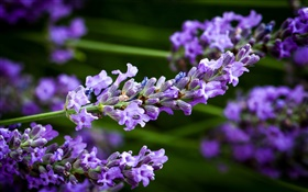 Purple lavender flowers, stem, blur background HD wallpaper