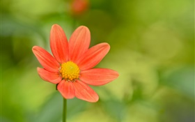 Red flower, green background HD wallpaper