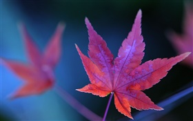 Red maple leaf close-up, autumn HD wallpaper