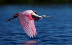 Roseate spoonbill, ibises, flying, lake HD wallpaper