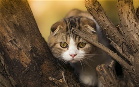 Scottish fold cat, kitten, eyes, tree