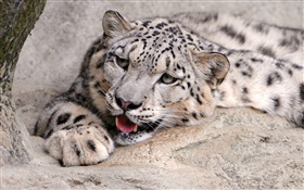 Snow leopard rest, stones HD wallpaper
