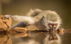 South Africa, monkey eating water HD wallpaper