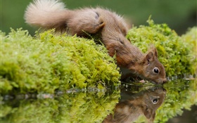 Squirrel thirst, drink water, moss HD wallpaper