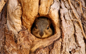 Squirrel, tree hole HD wallpaper