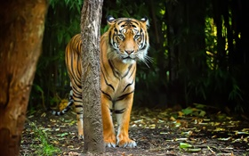 Tiger in forest, stripes HD wallpaper