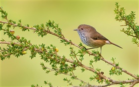 Twigs, bird, brown thornbill HD wallpaper