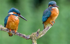Two birds, kingfisher, tree branch HD wallpaper