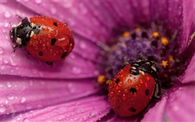 Two ladybugs, insect, pink petals, dew HD wallpaper
