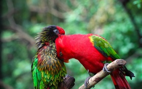 Two parrots, couple, colors HD wallpaper