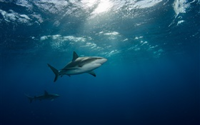Underwater, sea, shark, swim HD wallpaper