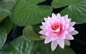 Water lily, pink flower, leaves, water