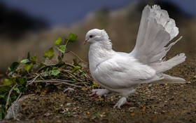 White pigeon, feathers, bird HD wallpaper