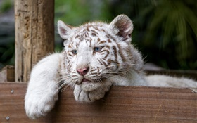 White tiger, big cat, blue eyes HD wallpaper