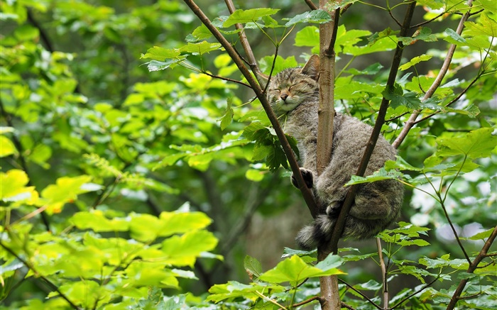 Wild cat sleeping in the tree, green leaves Wallpapers Pictures Photos Images