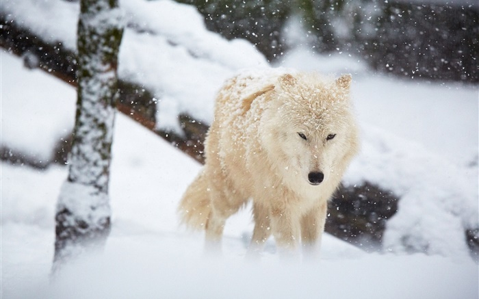 Winter, wolf, snow Wallpapers Pictures Photos Images