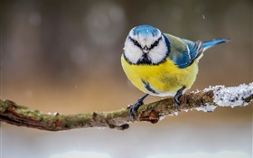 Winter, yellow white blue feathers bird HD wallpaper