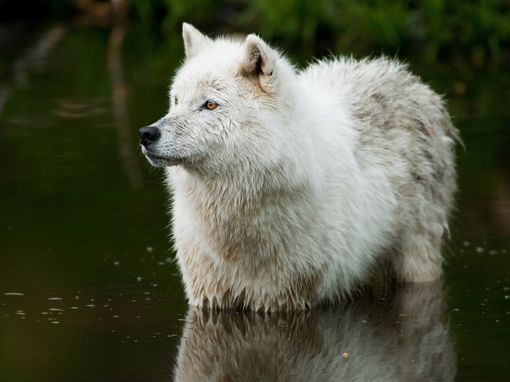 Wolf in the river 1024x768 wallpaper