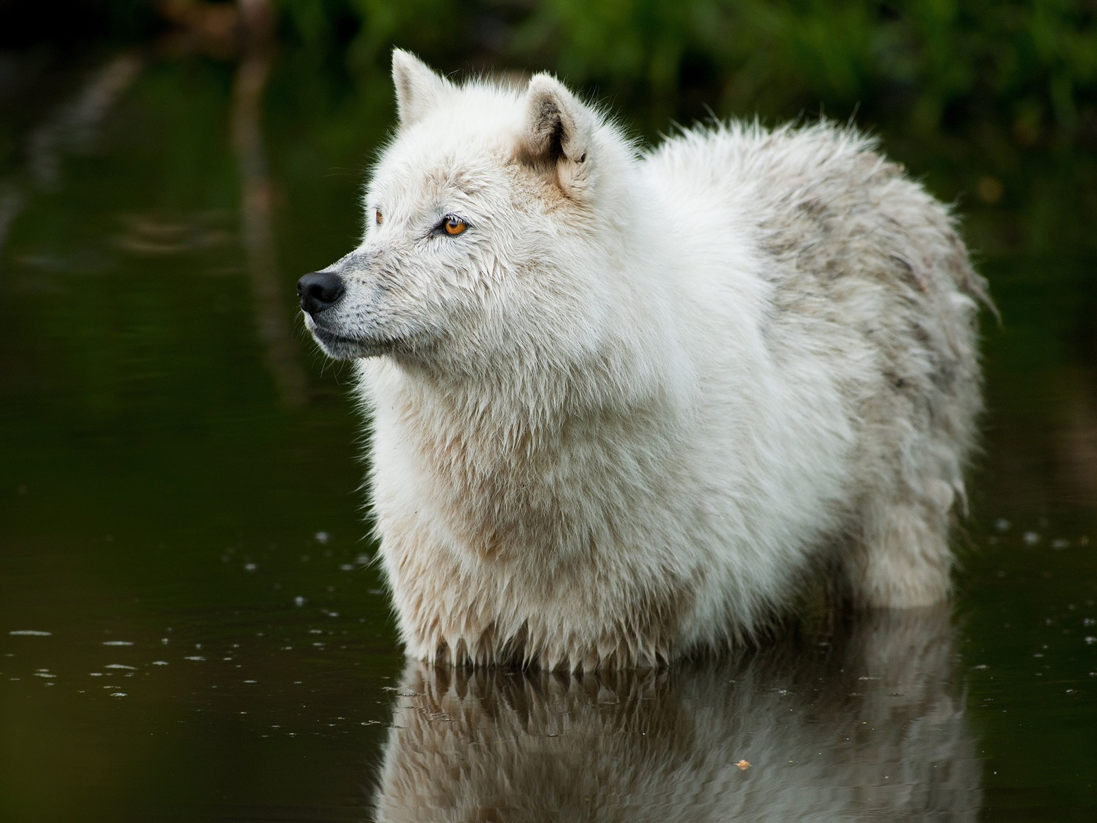 Wolf in the river 1600x1200 wallpaper