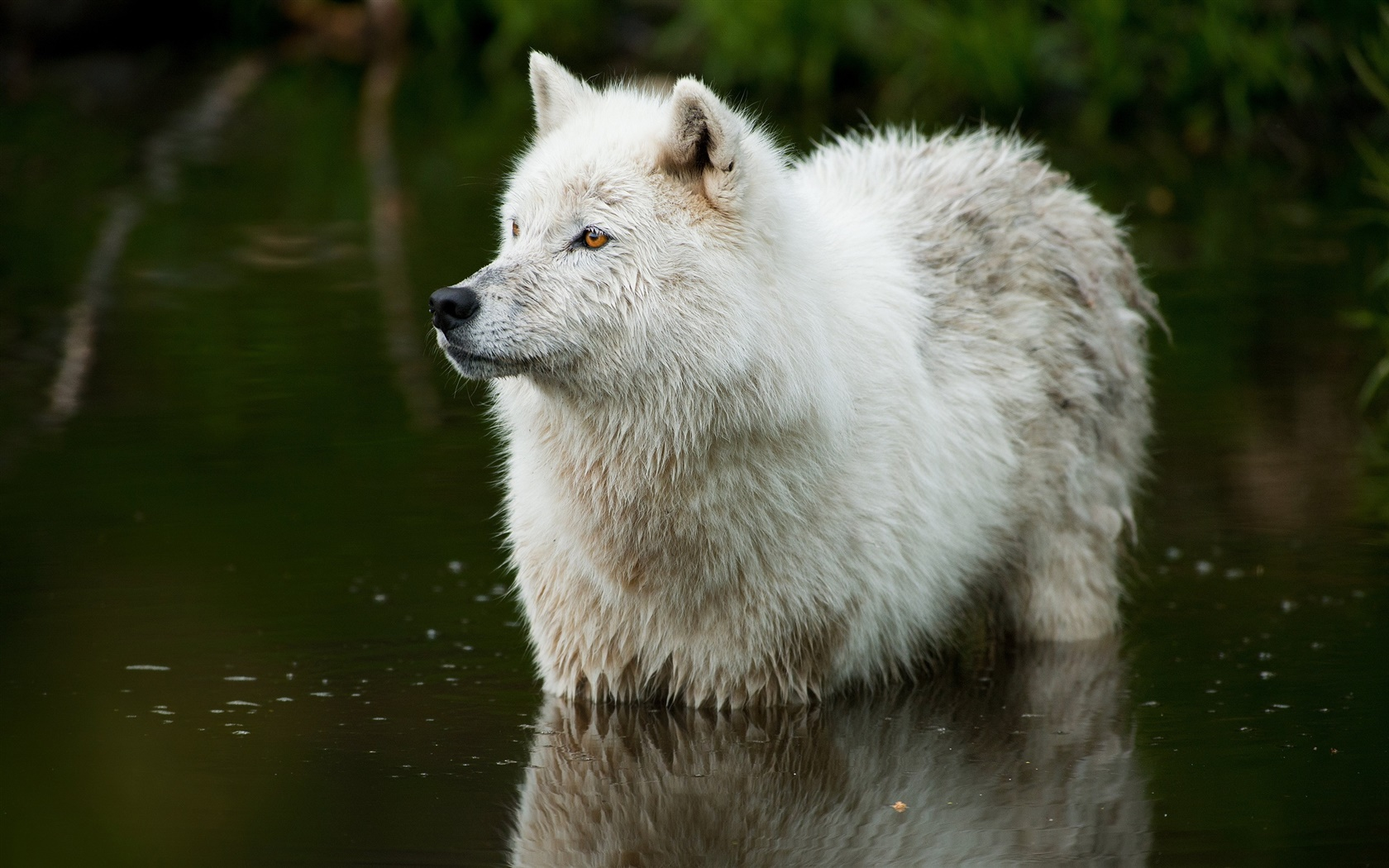 Wolf in the river 1680x1050 wallpaper