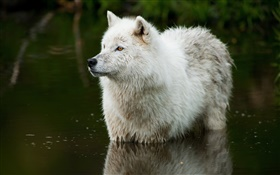 Wolf in the river HD wallpaper