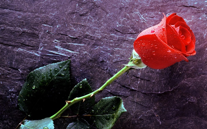 A red rose, water drops Wallpapers Pictures Photos Images