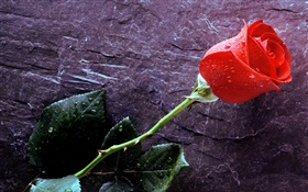 A red rose, water drops HD wallpaper