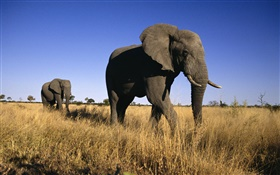 African elephant HD wallpaper