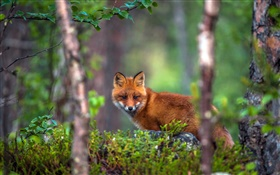 Animal fox in the forest HD wallpaper
