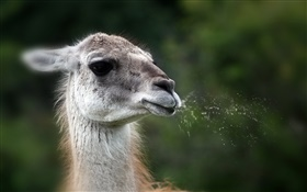 Animal llama face HD wallpaper