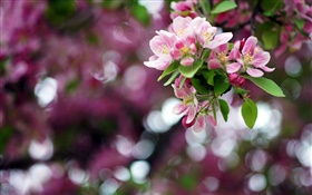 Apple tree, pink flowers, spring, bokeh HD wallpaper