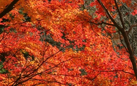 Autumn, beautiful maple leaves, red color, trees