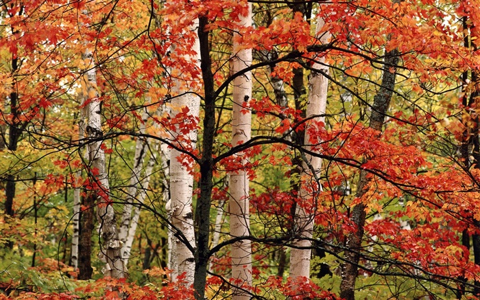 Autumn, forest, birch, red leaves Wallpapers Pictures Photos Images