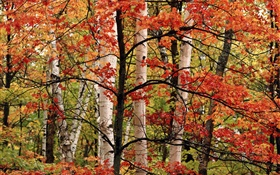 Autumn, forest, birch, red leaves HD wallpaper