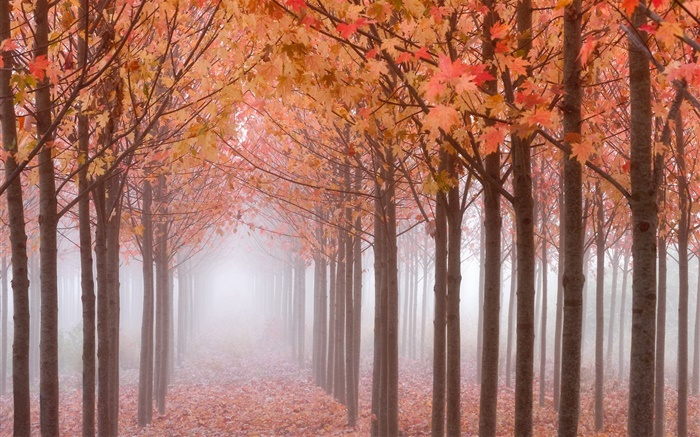 Autumn morning, trees, red maple leaves, fog Wallpapers Pictures Photos Images