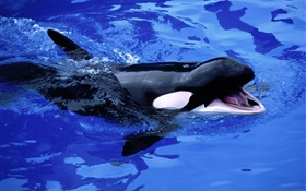 Baby whale, killer whale, blue sea water HD wallpaper