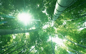 Bamboo forest, look up, sun light, green leaves HD wallpaper