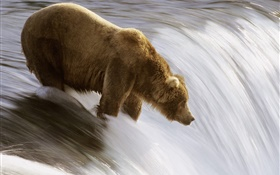 Bear in the water, hunt food HD wallpaper
