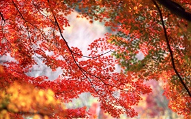 Beautiful autumn, tree, twigs, red maple leaves HD wallpaper