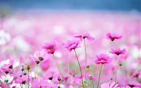 Beautiful kosmeya flowers, bokeh HD wallpaper