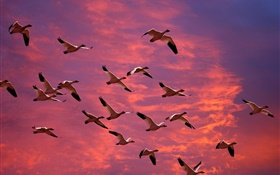 Big wild geese in the red sky, sunset HD wallpaper