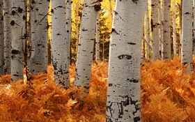 Birch trees, forest, autumn