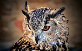 Birds of owl, face close-up HD wallpaper