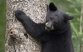 Black bear climb tree HD wallpaper