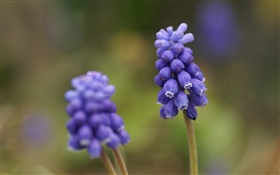 Blue grape hyacinth flower, blur background HD wallpaper