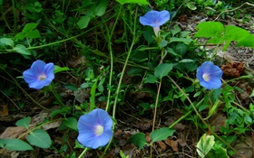 Blue morning glory HD wallpaper