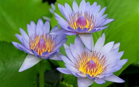 Blue-purple petals of the lotus HD wallpaper